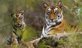 tiger-res